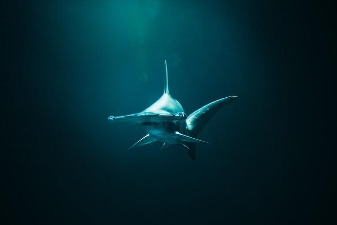 【サメ漁の残酷さ】サメのヒレだけ取るシャークフィニング
